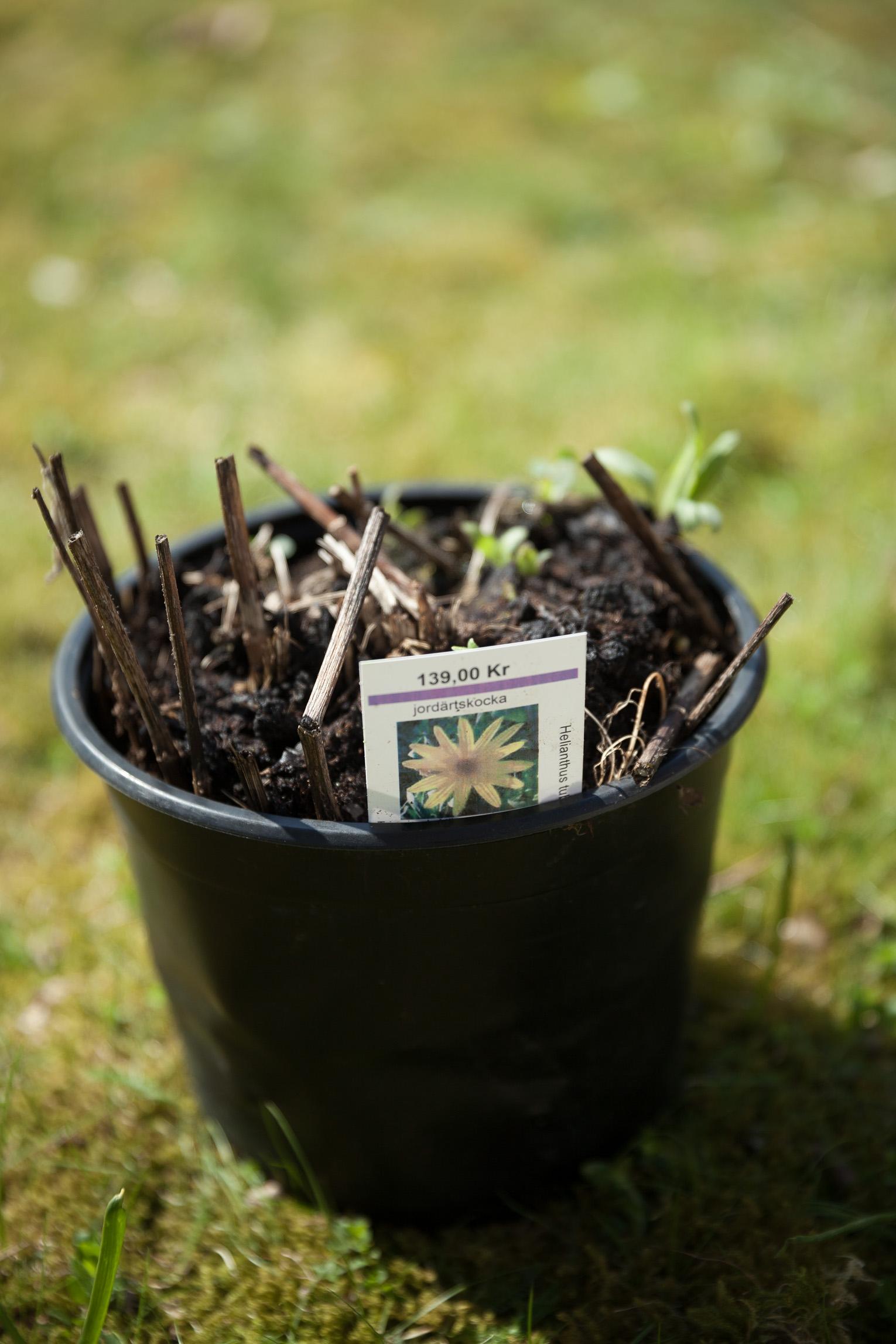 jordärtskockor planta