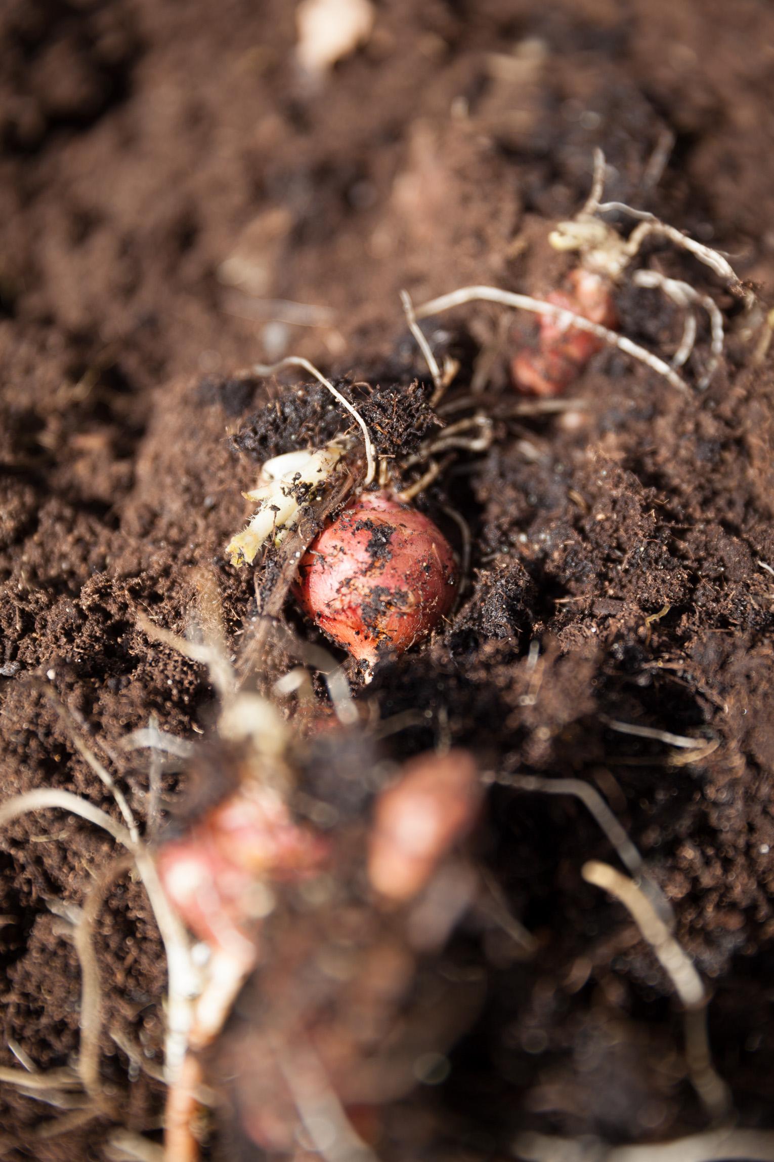 jordärtskockor i jord