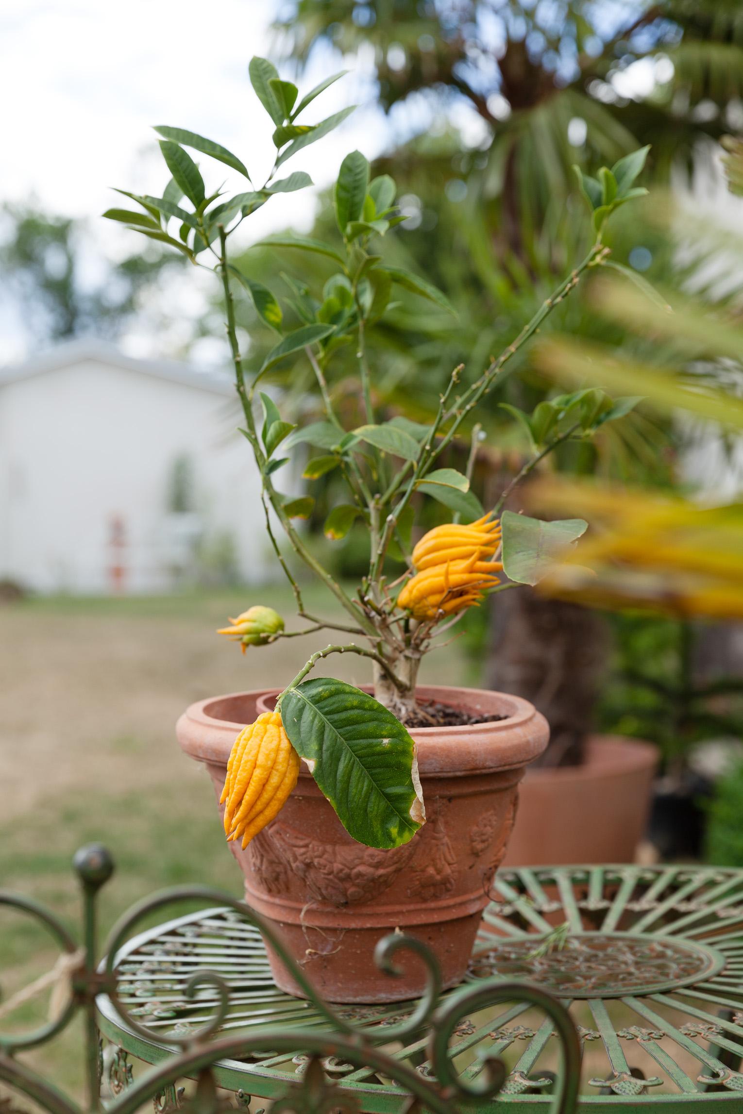 Villa Famiglia citrusträd
