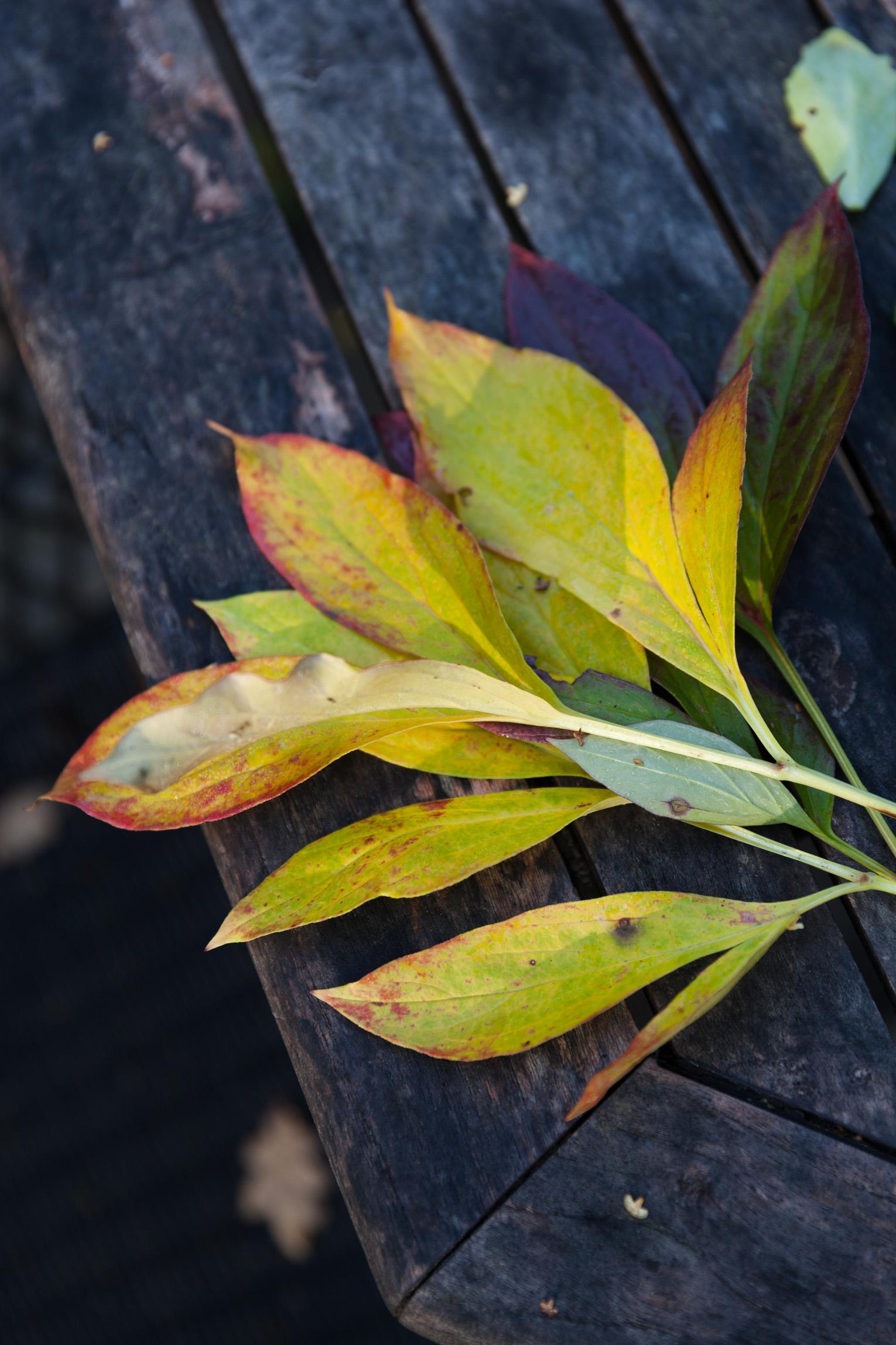 pionblad höst