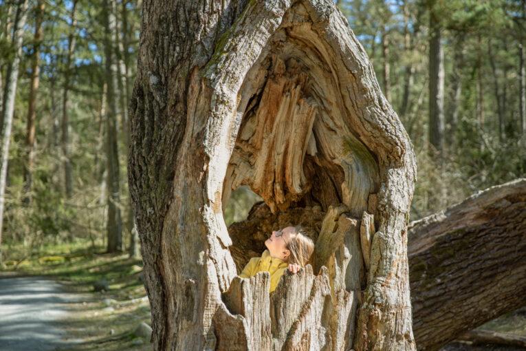 Trollskogen ihålig ek