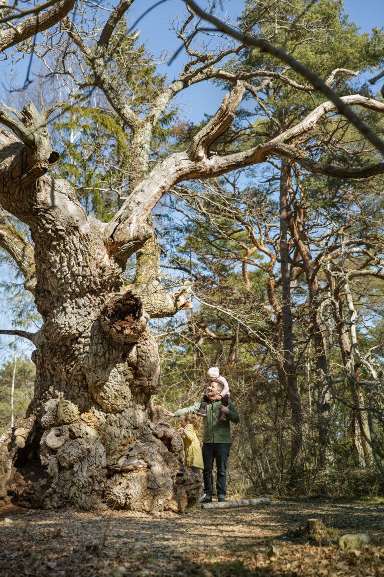Trollskogen gamla träd